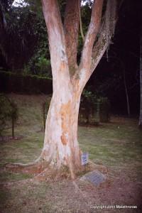 Brazil Tree, Brazilwood Tree in Rio Botanical Garden