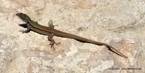 An Aegean wall lizard sunning itself at Pori, Ano Koufonissi