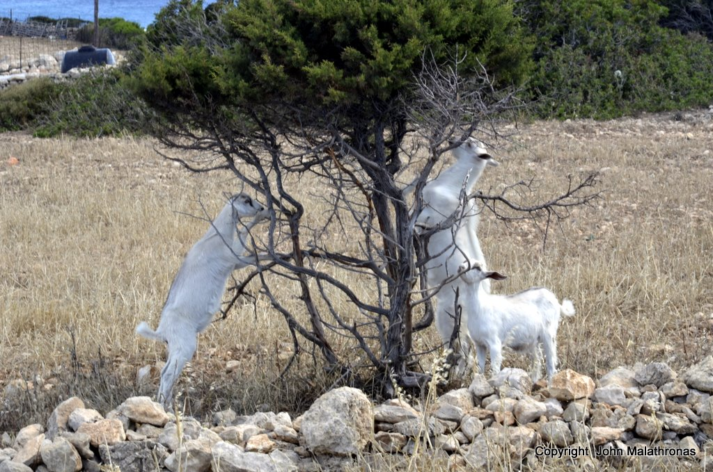 Kid goats on tree, Ano Koufonissi