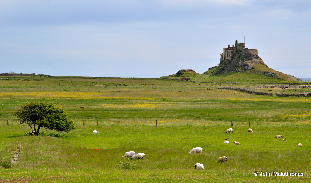 Lindisfarne Castlewith sheep in the foreground