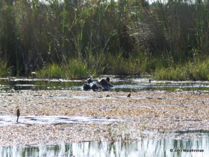 Curious hippo in the Okavango