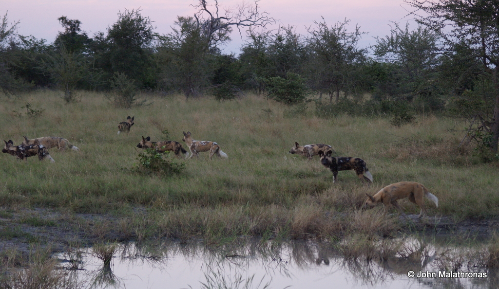 Wild dogs on the prowl in Botswana