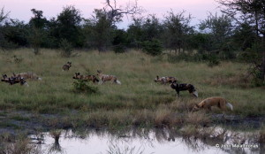Pack of wild dogs in the Okavango
