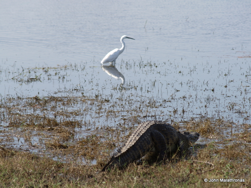 Crocodile trying to surreptitiously attack a heron