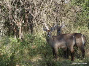A family of kudu