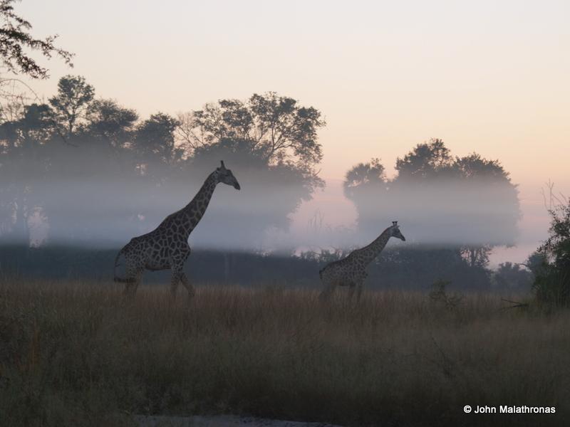 Giraffes in the morning mist