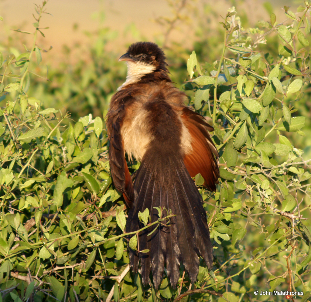 """""""Coppery-tailed coucals spread their wings in the early morning sun to soak its rays""""."""
