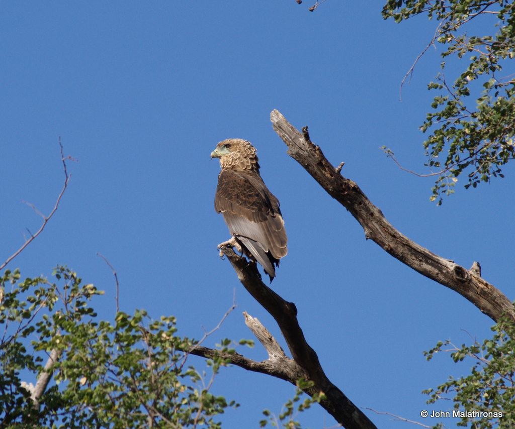 Juvenile Bateleur Eagle, Okavango Delta