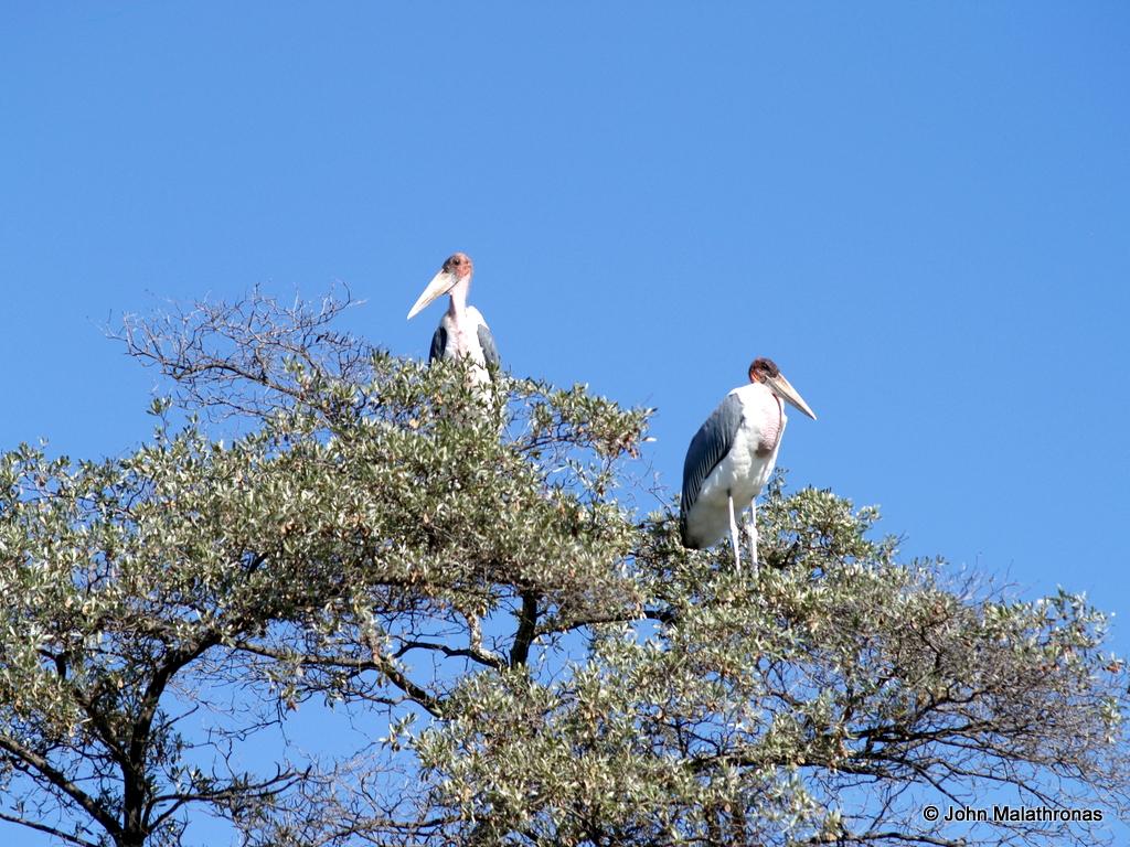 Two marabou storks