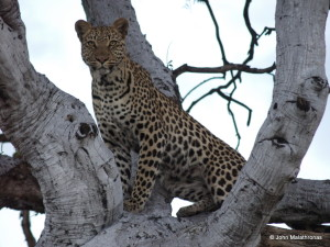 Leopard on a tree in the Okavango Delta
