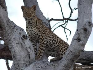 Leopard on a tree in the Okavango Delta