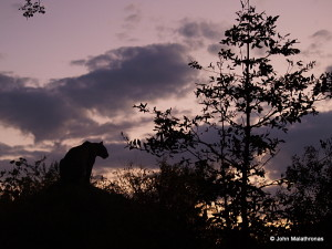 Leopard waiting for the sun to set